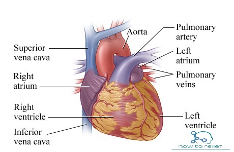 Heart Anatomy : Cardiac Chamber,Arterial Supply & Function » How To ...