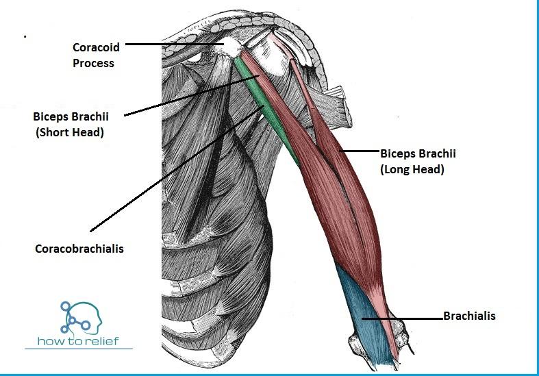 Brachialis Muscles