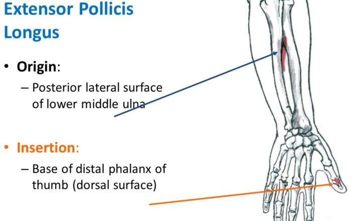 Extensor Pollicis Longus
