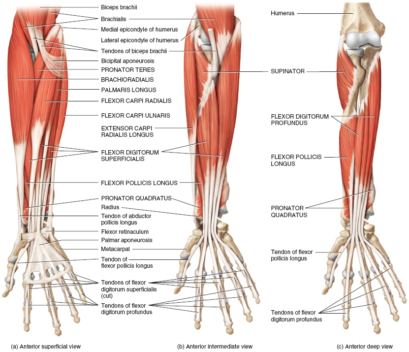 Forearm Muscles: Origin, Insertion, Nerve Supply & Action » How To ...