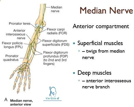 Median Nervecourse Innervation How To Relief