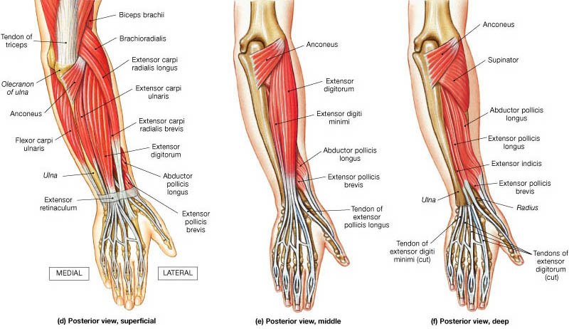 Forearm Muscles  Origin  Insertion  Nerve Supply  U0026 Action