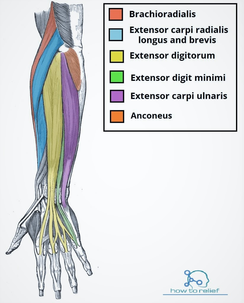 left hand tendons diagram hand brake diagram 1990 chevy silverado brachioradialis origin insertion nerve supply amp action