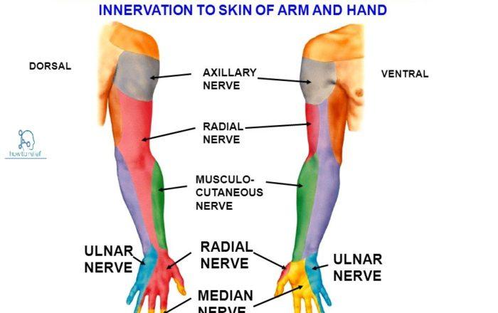 Sensory Supply of the Median Nerve