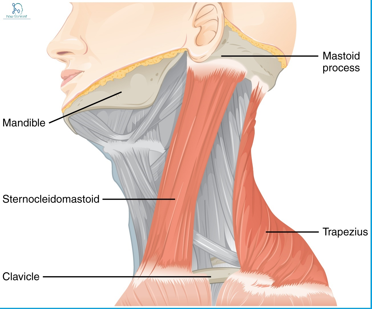 a labeled diagram of the cross section of the skin sternocleidomastoid origin insertion nerve supply diagram of the throat bones
