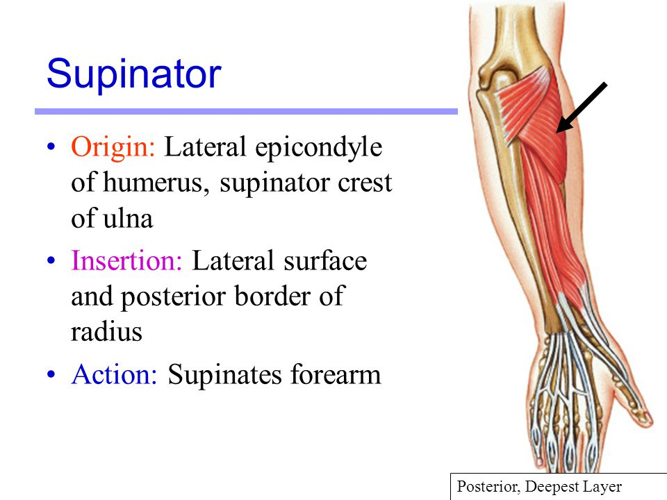 Supinator: Origin, Insertion, Nerve Supply & Action » How To Relief
