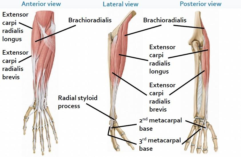 Brachioradialis Origin Insertion Nerve Supply Action How To