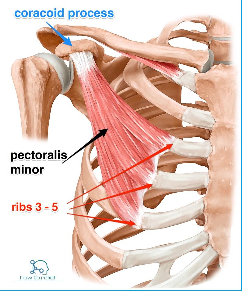 pectoralis-minor