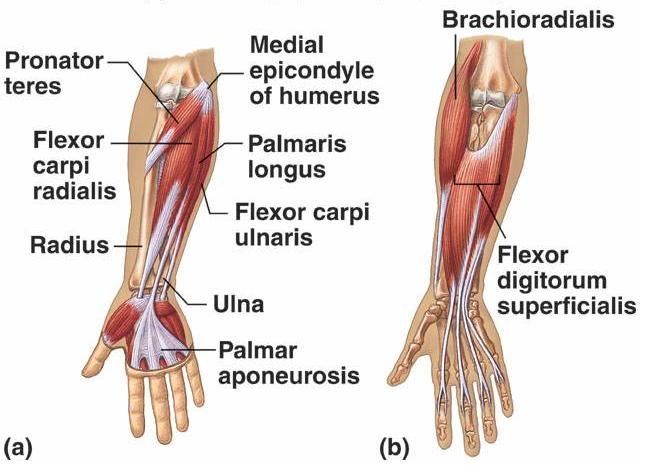 pronator teres muscle