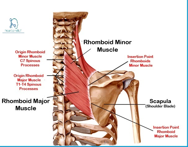 rhomboid muscle