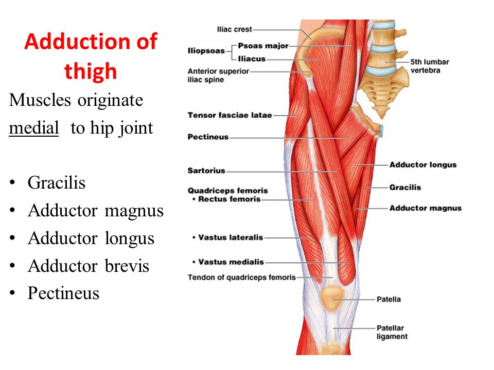 quadriceps femoris