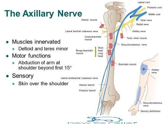 Axillary Nerve courses