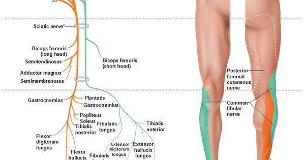 Sciatic nervecoursemotor sensory innervation how to relief sciatic nerve course altavistaventures Images