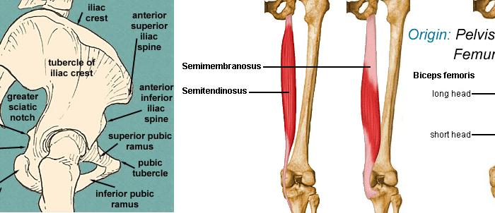 biceps femoris Origin Insertion