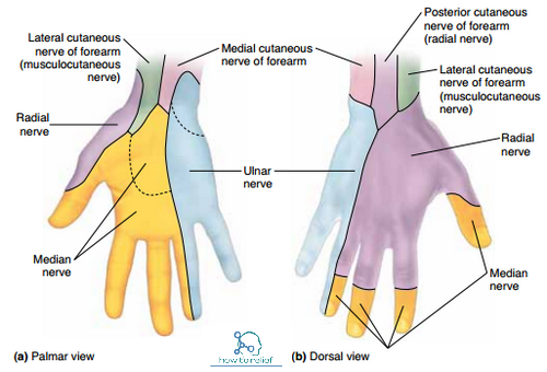 Musculocutaneous Nervecoursemotorsensory Common Injuries How