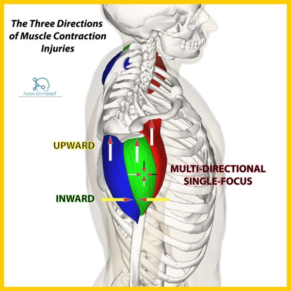 Deltoid Origin Insertion Action Nerve Supply How To Relief