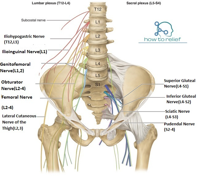 Lumbar Plexus Overviewbranchesanatomy Function How To Relief