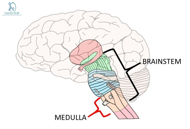 Medulla - Definition,Anatomy, Location & Function » How To Relief
