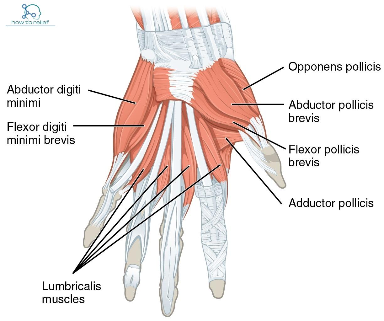 flexor poloicis longus