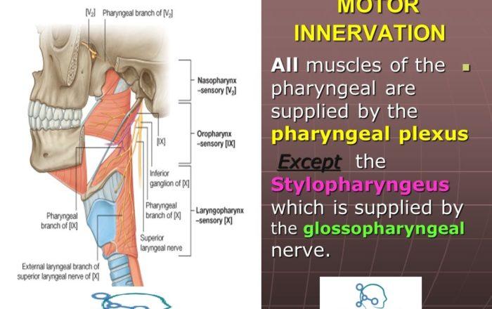 Pharyngeal plexus