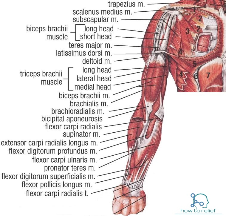 upper limb muscles