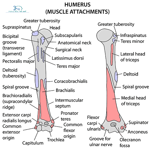 Humerus muscle attachment