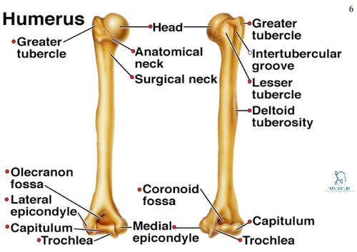 Humerus with label