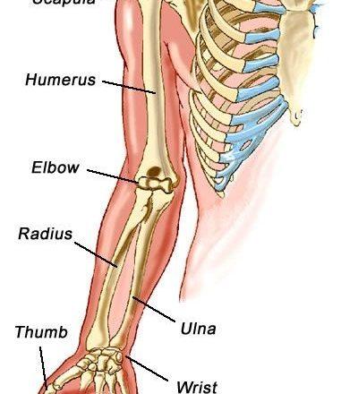 Upper Limb Bones