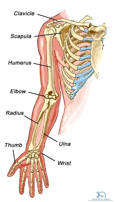 Upper Limb Bones Anatomy & Muscle Attachment » How To Relief