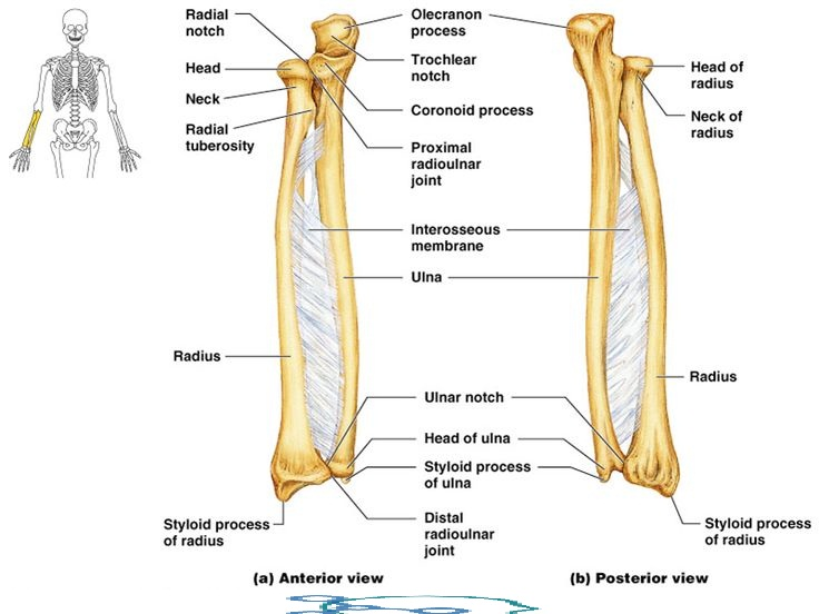Ulna Anatomy-Muscle Attachment & Bony Landmark » How To Relief