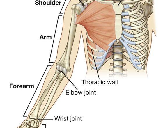 anatomy quiz upper limb