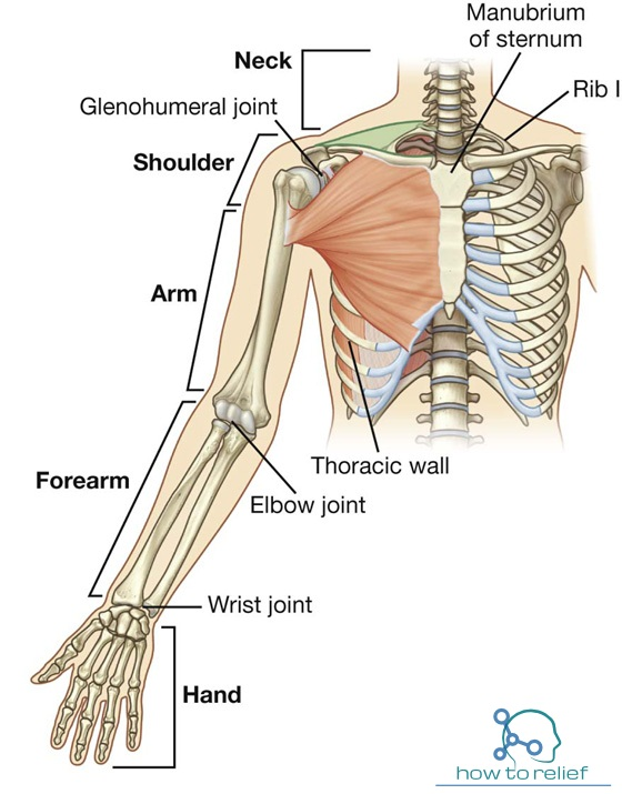 anatomy quiz upper limb