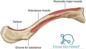 clavicle attachment