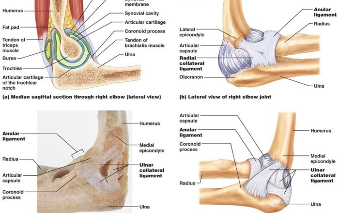 elbow-joint-capsule