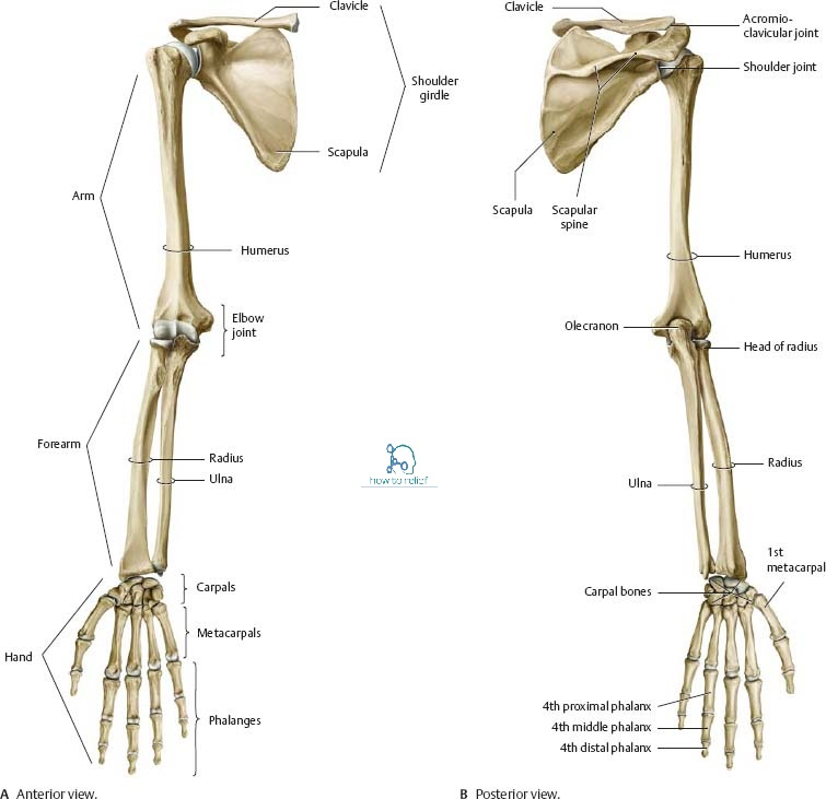 Joints Of The Upper Limb Anatomymovement Ligament Involvement