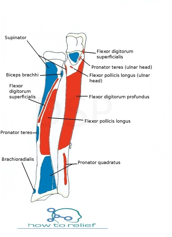 Radius Anatomy-Muscle Attachment & Bony Landmark » How To Relief