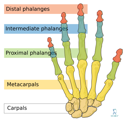 Phalanges Bones Anatomy » How To Relief