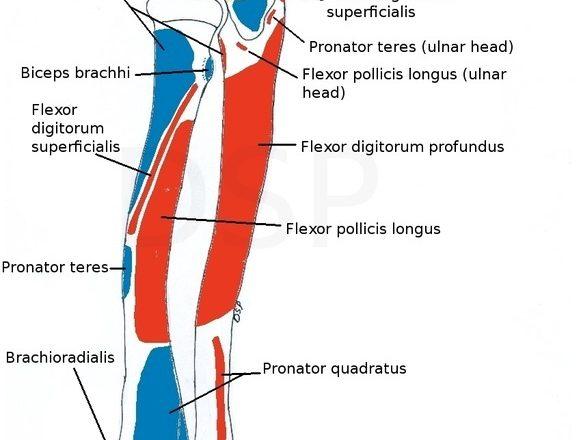 radius muscle attachment