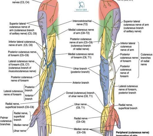 upper limb quiz