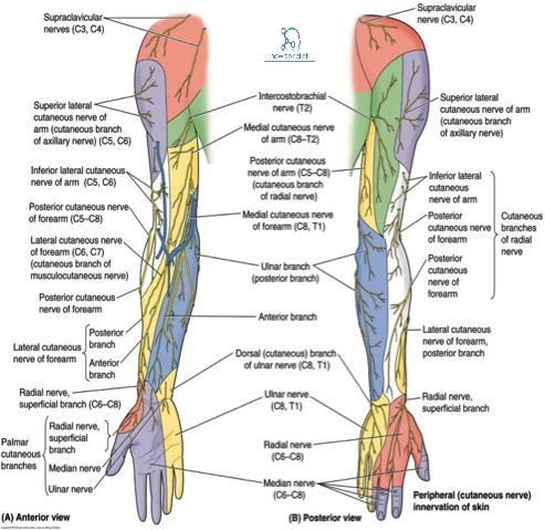 Upper limb anatomy questions and answers