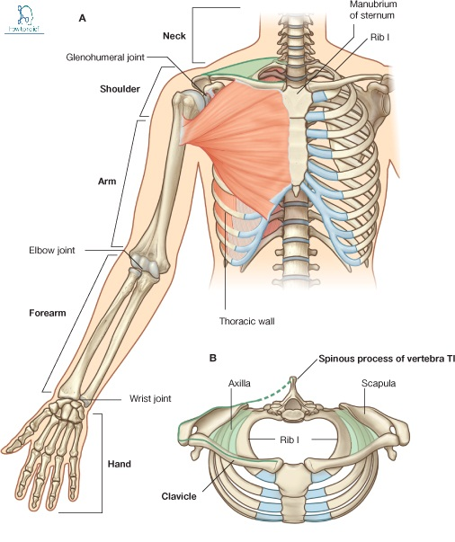 Upper Limb Question With Answer P.1 » How To Relief