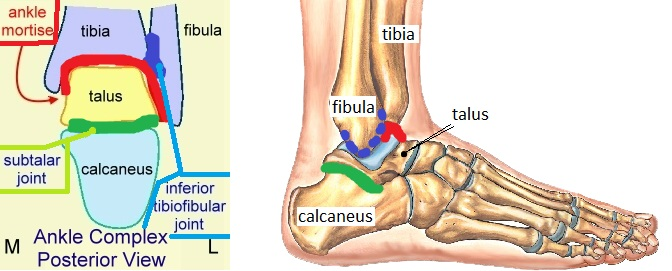 Articulating Surfaces of Ankle Joint