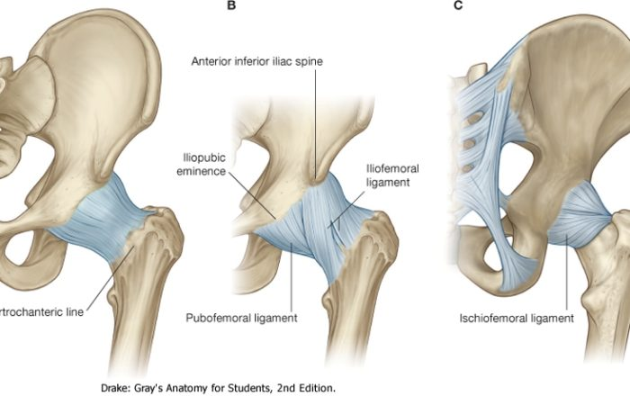 Ligaments of the Hip joints