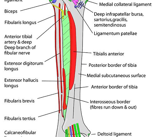 anterior muscle attachment of leg