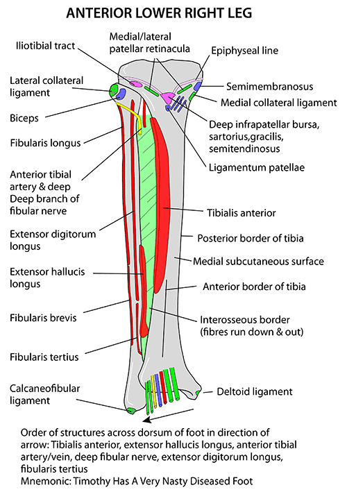 Fibula Anatomy Bony Landmarks Muscle Attachment How To Relief