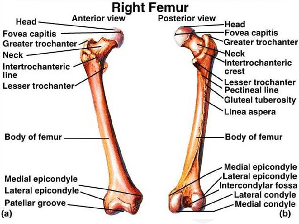 Femur anatomy bony landmarks muscle attachment how to relief femur anatomy bony landmarks muscle attachment ccuart