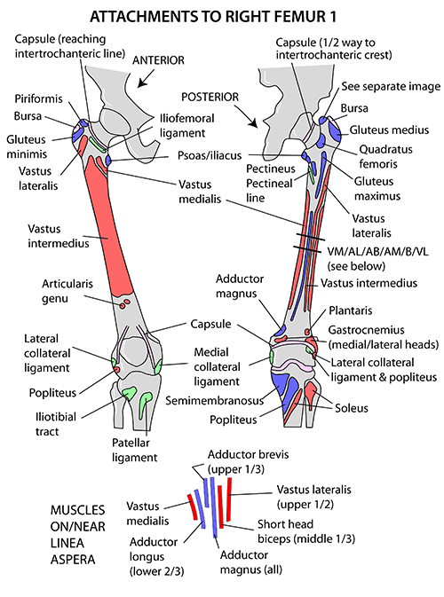 Femur Anatomy Bony Landmarks Muscle Attachment How To Relief