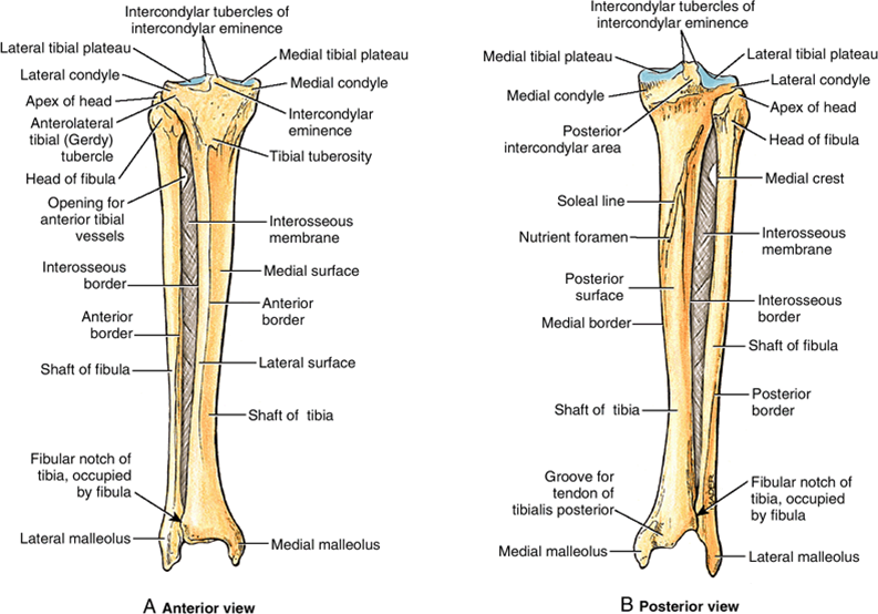 Tibia Anatomy Bony Landmarks Muscle Attachment How To Relief