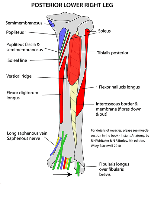 Tibia anatomy bony landmarks muscle attachment how to relief popliteus muscle inserts into the posterior side of the tibia over the soleal line ccuart Choice Image