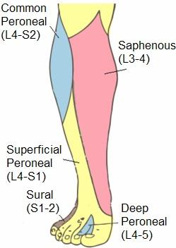 Common Fibular Nerve:Course,Motor & Sensory Innervation » How To Relief